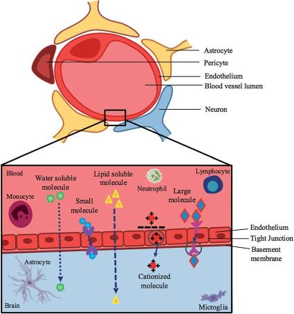 A-schematic-representation-of-the-blood-brain-barrier-and-pathways-across-this-barrier