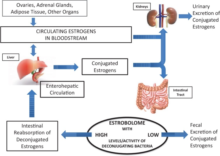 estrobolome diagram